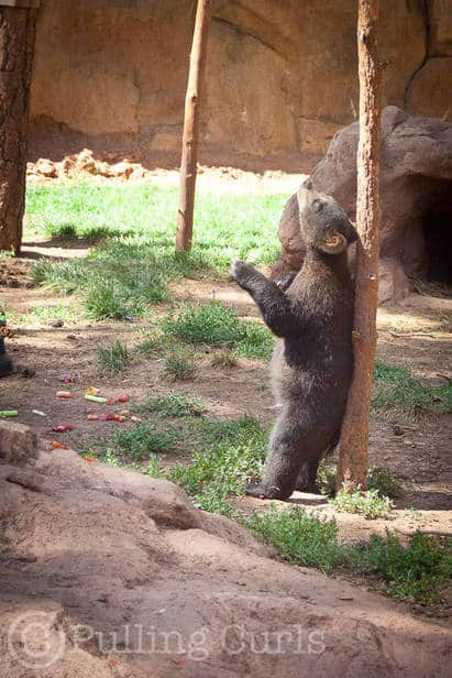 A little bear pole dancing.