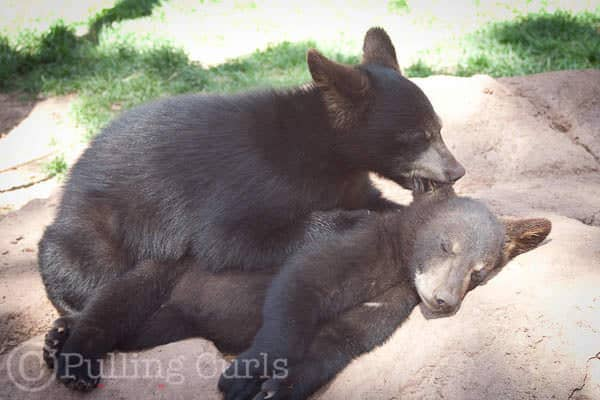 Baby bears at Bearizona, AZ so cute!