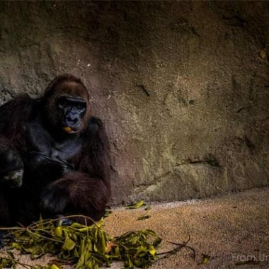 The Gorilla Story, over it.